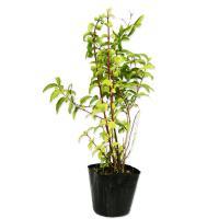 サラサウツギ 0.2m10.5cmポット 1本 1年間枯れ保証 春に花が咲く木