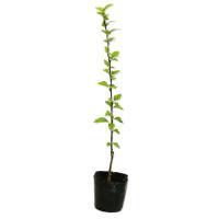 ムクゲ 0.3m10.5cmポット 1本 1年間枯れ保証 夏に花が咲く木