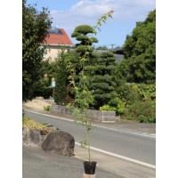 イロハモミジ 1.0m10.5cmポット 1本 1年間枯れ保証 紅葉が美しい木
