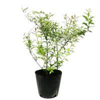 ユキヤナギ 10.5cmポット 1本 1年間枯れ保証 春に花が咲く木
