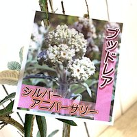 ブッドレア 苗木 シルバーアニバーサリー 13.5cmポット苗 3年生苗 ブットレア 苗|green-very|02