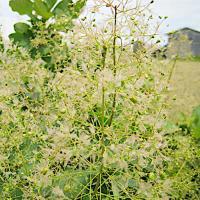 スモークツリー 苗木 ホワイトマジック 13.5cmポット苗 3年生苗 スモークツリー 苗|green-very
