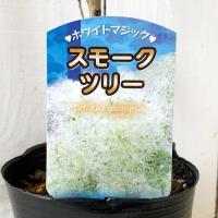 スモークツリー 苗木 ホワイトマジック 13.5cmポット苗 3年生苗 スモークツリー 苗|green-very|02