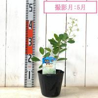スモークツリー 苗木 ホワイトマジック 13.5cmポット苗 3年生苗 スモークツリー 苗|green-very|03