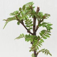 葉サンショウ(山椒) 12cmポット  葉サンショウは、清涼感のある辛みと芳香があり、葉や果実を日本...