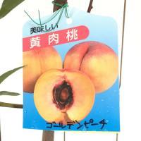 桃 苗木 ゴールデンピーチ 12cmポット苗 もも 苗 モモ  ゴールデンピーチは、晩生の黄肉品種で...