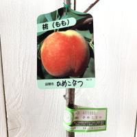 桃 苗木 ひめこなつ 15cmポット苗 もも 苗 モモ  ひめこなつは、5月下旬に収穫できる超極早生...