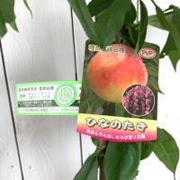 桃 苗木 ひなのたき(PVP) 15cmポット苗 もも 苗 モモ  ひなのたき桃は観賞用の範疇であり...