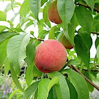 桃 苗木 はなよめ 15cmポット苗 もも 苗 モモ  はなよめ桃は日川白鳳の枝代わり品種で果皮が赤...