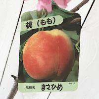 桃 苗木 まさひめ 12cmポット苗 もも 苗 モモ  まさひめは、果肉が緻密で、繊維が少なく、果汁...