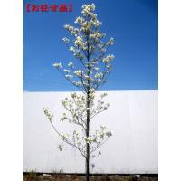 ハナミズキ クラウドナイン シンボルツリー 白花 庭木