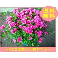 珍しい四季咲きツツジがこのボリューム(6号鉢) 鉢植え 送料無料 常緑低木 常緑樹 花木 母の日 贈り物