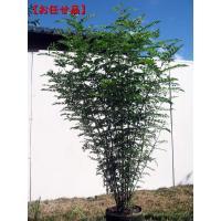 シマトネリコ 樹高約1.5m前後(根鉢含まず) 株立