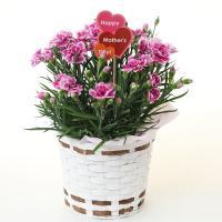 ●花色、鉢カバー、母の日ピック全ておまかせカーネーションです。  ●北海道・九州・沖縄へのお届けは追...