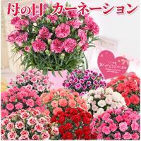 カーネーション鉢 母の日花ギフト、送料無料でお届けします。高さ(約)35cm、幅(約)20cm、日付...
