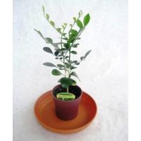 ミニ観葉植物シルクジャスミン鉢植え(2.5号)