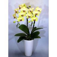 黄色胡蝶蘭(2本立) 鉢は陶器 鉢の直径12cm 高さ約30〜35cm 栞付き ラッピング、カード、...