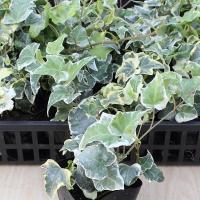 ●ヘデラ(アイビー)はつる性植物で公共施設の緑化から観葉植物まで幅広く活躍しています。。 ●春〜秋の...