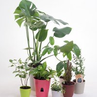 おまかせ観葉の苗 観葉植物 大小合わせて6点セット