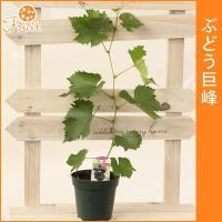 ●つる性の植物であるブドウは棚を作り這わせることで自然のカーテンとなります。  ●甘い実は鳥や虫にも...