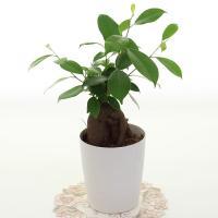 ●ぷっくりとした幹と肉厚の葉がとてもかわいい観葉植物です。 ●乾燥を嫌い、やや湿り気のある環境を好み...