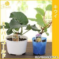 ●ビタミンCが豊富なおなじみの果物です。 ●乾燥に強いのですが夏は水切れに注意して下さい。 ●オス、...