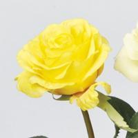 造花 アスカ ローズ イエロー A-33001-010 01   造花 花材「は行」 バラ