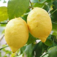 ◆送料無料◆ 寒さに強いレモン 苗木 【リスボンレモン】 2年生 接ぎ木 ポット苗 ※北海道・沖縄は送料無料適用外です。