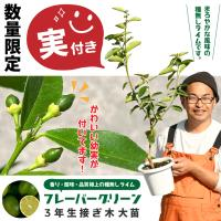 ◆送料無料◆ 種なしライム 【フレーバーグリーン】3年生 接ぎ木 プラスチック鉢植え (ニーム小袋付き) ※北海道・沖縄は送料無料適用外です。