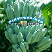 バナナ苗 アイスクリームブルーバナナ 鉢苗 耐寒性 果樹 熱帯果樹