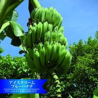 バナナの木 アイスクリームブルーバナナ カット大苗 石垣島から直送 代引不可・着日指定日不可