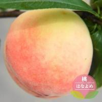 ●品種の特徴 日川白鳳の枝代わりの極早生品種。果皮が赤く色づく美しい桃です。果重250g位で果汁多く...