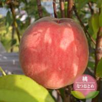 ●品種の特徴 「あかつき」と「よしひめ」を交配して生まれた選抜品種です。果実は250〜300gで、甘...