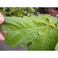 ●品種の特徴『柏餅』の葉です。落葉性ですが、紅葉後に茶色い葉が春の新芽が出るまで残る様子から、「子孫...