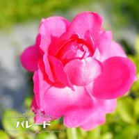 ●濃いバラ色の整った大輪ロゼット咲きで、満開になると丸弁のゆるいカップ咲きになります。花には良い香り...