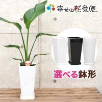 観葉植物 ストレリチア・オーガスタ 6号鉢 送料無料 インテリア 人気 観葉植物