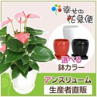 観葉植物 アンスリウム・ロイヤルピンクチャンピオン 5号丸高陶器鉢(白赤) 誕生日祝い インテリア 人気