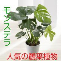 一つは欲しい観葉植物ですが人気でお勧めは何?って聞かれたら、このモンステラをまず、最初にご紹介します...