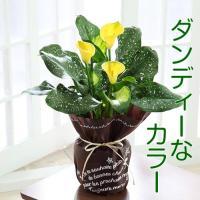 カラーという名前のお花ですが生け花などではとても人気ですよね。 ビタミンカラーのイエローで姿がとても...