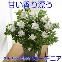 日本人にはなじみの深い「くちなし」。あまい香りがとても素敵ですよね。 ガーデニアはくちなしの仲間であ...