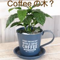えええっ?コーヒーの木? 残念ながら日本の気候では実は出来ないのですが、とても葉がツヤツヤで美しいの...