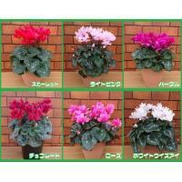 【ご確認願います】 本品は11月中旬ごろからお届けの予約品です。予約品の関係で他のお花などとの同梱出...