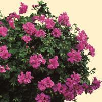 葉の形がアイビーに似て葉も楽しめる アイビーゼラニウム。 基本八重咲きですが半八重から八重咲きにもな...