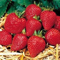 イチゴ(いちご)満腹セット  4種各1株計4株セット *送料無料・他品同梱可能 ・お届け先地域によっては別途送料が発生する場合があります