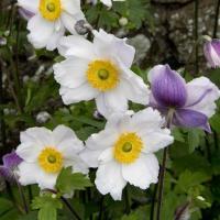 半日陰程度の日照でも育てられる秋明菊。 表から見ると半八重の白花ですが裏から見ると青紫の、つまり2色...