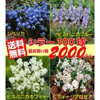 日本ではあまりなじみのある品名の球根ではないのですが球根の本場、イギリスでは非常に馴染みのあるお花で...