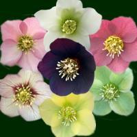 クリスマスローズ オリエンタリス系 シングル咲き(一重咲き)3株セットです。 色や品種はお選びいただ...