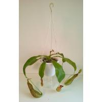 直径15cmのつり鉢に入っています。 ネペンテス バービッジアエ × エドワードシアナ ウツボカズラ...