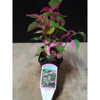 直径9cmのビニール鉢に入っています。  緑色の葉に赤い斑が不規則に入り、寄せ植えによく使われます。...