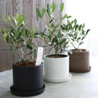 ミニオリーブ 「 オリーブの木 (高さ40~45cm前後) 選べる鉢 2色 」 オリーブの木 販売 苗木 観葉植物 オリーブの木 鉢植え ガーデニング 農業